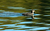 Australasian coot - young (Maureen Pierre) Tags: australasian coot newzealand young wildlife bird waterbird