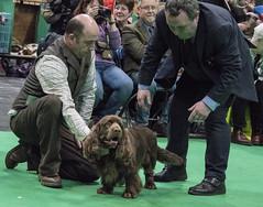 GAZ_1246 (garethdelhoy) Tags: dog sussex spaniel crufts 2018 kennel club