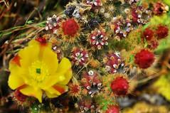 Flowering cacti (holly hop) Tags: cactusflower cactus flower emu sharp prickly poiny thorns garden australia centralvictoria hot summer postprocessing sliderssunday cacti sedge808sfaves ngc ngg