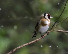 Waiting On Spring (Fourteenfoottiger) Tags: gardenbird bird wildlife wildbird goldfinch snow flurry bokeh twigs woods woodland trees cold winter spring weather nature