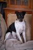 Unix (jürgotron) Tags: nature animals dog ratonerobodegueroandaluz ratonero black white terrier