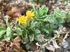 2018.03.03 - goldenbush (JBYoder) Tags: angiosperm asteraceae california dicot flora goldenbush isocoma isocomamenziesii malibu leocarillostatepark