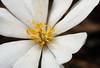 Bloodroot_02_03-19-2018 (McConnell Springs) Tags: mcconnellspringspark lexingtonky lexingtonparksrecreation flower bloodroot wildflower whiteflower
