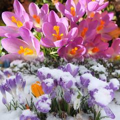 Aprilwetter? (gestern: Sonne; heute: wieder Schnee) (Antje_Neufing) Tags: schnee sonne krokus natur märz deutschland rheinlandpfalz reinsfeld wetter frühling