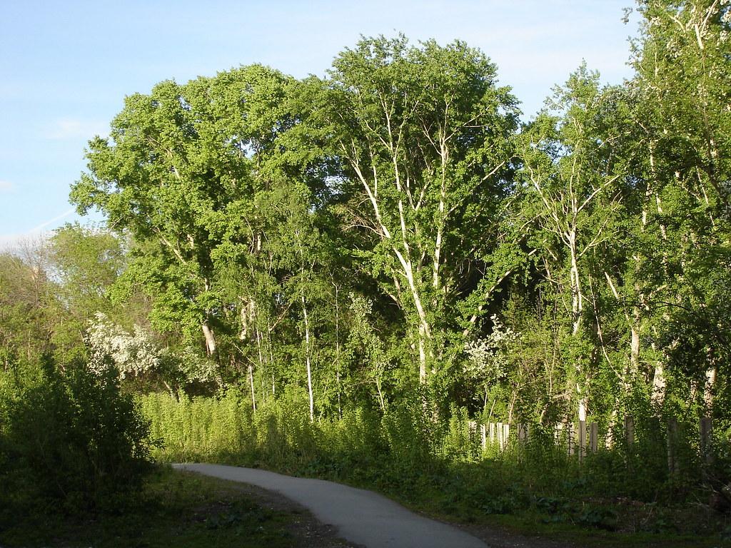 фото: Большие тополя и маленькие деревца