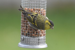Siskin on the nuts again