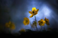 Soleil hivernal (donlope1) Tags: macro nature light flower fleur flora anemone yellow spring bokeh sunrise proxy