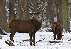 IMG_9827 (Sula Riedlinger) Tags: reddeer reddeercervuselaphus cervuselaphus deer redstag reddeerstag stag greaterlondonwildlife greaterlondon greaterlondonparkswildlife londonwildlife londonroyalparks londonparkswildlife mammal nature nationalnaturereserve surrey surreywildlife richmondpark royalparks royalpark ukwildlife uknature urbanwildlife urbannature wildlife wildlifephotography snow wildlifeinsnow