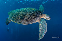 Green sea turtle (Chelonia mydas) (Patxikun) Tags: turtle green sea chelonia mydas redsea egypt nikon d300