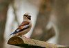 Gros Bec casse noyaux (tibobdu45) Tags: tibob canon7dmarkii canon ef500mmf4lisiiusm grosbeccassenoyaux bird oiseaux nature ornithologie gros bec