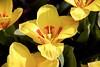 Yellow tulips (ToJoLa) Tags: canon 2018 yellow geel tulpen tulips voorjaar spring lente star bloem flower