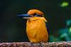 sittin' pretty (Pejasar) Tags: bird fowl pretty beautiful colorful orange blue beak feathers sedgwickcountyzoo wichita kansas zoosofnorthamerica micronesiankingfisher