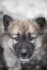 Potiok (camel.arnaud) Tags: husky greenlanddog groenlandais potiok chien traineau sled dog winter hiver québec canada