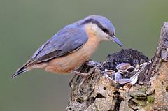 In the land of plenty - Na terra da abundância (Yako36) Tags: portugal arrábida bird birdwatching ave nature natureza nikon200500 nikond7000