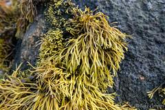 Bifurcaria bifurcata (Nelleke C) Tags: 2017 letterdyfehouse roundstone bifurcariabifurcata browntuningforkweed connemara countygalway holiday ierland ireland seaweed vakantie zeewier