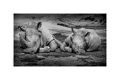 Bored Rhinos (salar hassani) Tags: bored rhinos rhinoceros