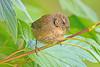 Wren (drbut) Tags: wren troglodytestroglodytes bird birds avian trees bushes nature wildlife canonef500f4lisusm