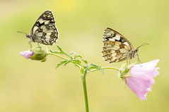 With or Without You... (Zbyszek Walkiewicz) Tags: butterflies butterfly sony closeup