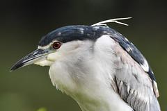 Black-crowned Night Heron Portrait (Gomen S) Tags: bird wildlife nature taiwan taipei 2018 morning spring asia tropical nikon 80400mm d500 animal
