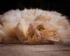 Ginger fluffball chilling out (FocusPocus Photography) Tags: linus katze kater cat chat gato tier animal haustier pet entspannt relaxed