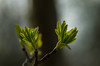 Young leaves of Sorbus cashmiriana (ProSession) Tags: sorbuscashmiriana rowan foliage leaves green spring emerging