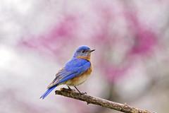 bluebird purple background ( explored ) (G_Anderson) Tags: bluebird missouri redbud flowers blooms spring native bakcyard birds