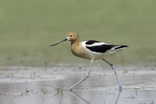 These boots are made for walking - American Avocet