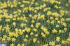 IMG_6273 (superingo78) Tags: monschau höfen narzissen blüte frühling natur schön