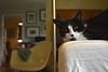 Tina looking very content (rootcrop54) Tags: tina female tuxedo midcentury modern eamesera smile neko macska kedi 猫 kočka kissa γάτα köttur kucing gatto 고양이 kaķis katė katt katze katzen kot кошка mačka gatos maček kitteh chat ネコ