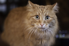 Clem Thursday: What? (Photo Amy) Tags: adorable aminal canon50d cat cuddly cute cuteness ef50mm18 eartufts feline fluffy fur furry ginger kitten longhair longhaired orange pet precious red tabby toefur whisker whiskers
