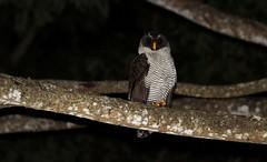 Black-and-white Owl /Chouette à lignes noires /Strix nigrolineata (ricketdi) Tags: birdofcostarica blackandwhiteowl strixnigrolineata chouetteàlignesnoires coth5 sunrays5 ngc npc