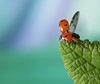 Off i go (~ **Barbara ** ~) Tags: coccinella ladybird ladybug red small springatlast sunshine warm wildlife garden macro uk closeup canon7dii explored 135 17318