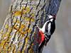 Pico picapinos (Dendrocopos major)  (1) (eb3alfmiguel) Tags: aves pájaros carpintero piciformes picidae pico picapinos dendrocopos major pájaro árbol hierba animal bosque madera