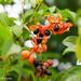 Harpullia pendula (Tulipwood)