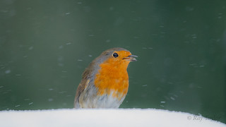 Singing in the snow