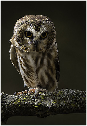 Saw Whet Owl by Barbara Dunn - Class B Digital - Award- March 2018