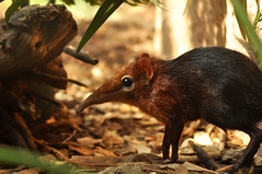 Rhynchocyon petersi - Black and Rufous Elephant Shrew (Going to the Zoo with Trebaruna) Tags: 15082011 2011 netherlands rotterdam rotterdamzoo diergaardeblijdorp diergaarderotterdam diergaarde animal zooanimal