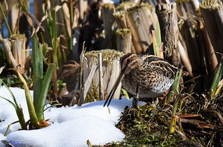 Sneaky Snipe. (Came out to play).