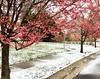Happy Spring Solstice (karma (Karen)) Tags: baltimore maryland neighborhood cherrytrees blossoms snow clashofseasons htmt iphone topf25