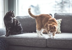Boys just want to have fun (Tracey Rennie) Tags: loveshisball cat window cooper ted playing sofa littledoglaughedstories