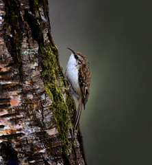 Tree Creeper. (spw6156 - Over 6,404,003 Views) Tags: tree copyright steve waterhouse creeper