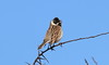 Spring,  Sunshine  and  Singing (billywhiz07) Tags: reed bunting male bird uk spring lea valley herts