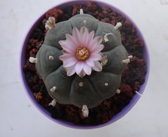 Lophophora williamsii (armen.cactus) Tags: lophophora williamsii cactus cacti succulent peyote flowers blooms
