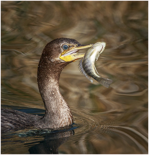 14 - Cormorant with a Meal