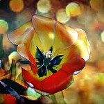 Sonnenberg Gardens & Mansion Historic Park ~ Canandaigua NY  - Tulip Bokehs thumbnail