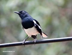 DSC07639 Oriental Magpie Robin (Copsychus saularis) (vlupadya) Tags: greatnature animal aves fauna indianbirds oriental magpie robin copsychus kundapura karnataka