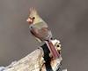 DSC_4790=1Cardinal (laurie.mccarty) Tags: cardinal northerncardinal bird bokeh birding nature animal wildlife outdoor wood macro
