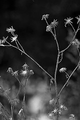 withered (EllaH52) Tags: greyscale monochrome plant plants winter withered faded macro