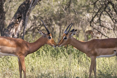 Friends now, will be rivals in a short time... (Gabriel Paladino Photography) Tags: young male impalas aepyceros melampus rutting fighting impala especie mamífero artiodáctilo bovidae antílope antelope africa scientific classification animalia chordata mammalia artiodactyla aepycerotinae horn horns cuerno wildlife wild animal fauna salvaje canon sigma 150600 south contemporary safari national park reserve nature natural sudáfrica flickrunitedaward phala rooibok krugernationalpark mpumalanga northeasternsouthafrica 77d