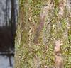 Moss and lichen on a tree trunk (Kyle Hartshorn) Tags: cold winter unitedstates northamerica ohio lickingcounty blackhandgorge lickingriver fieldwork gorge river botany plant plants bryology bryophytes lichen tree bark wood moss